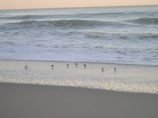 Sanderlings on a beach by Saxon Henry.